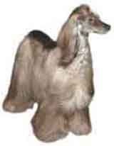 photo of an afghan dog breed