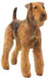 picture of an Airedale dog breed