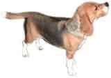 photo of a beagle