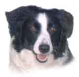 photo of a Border Collie