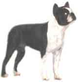 photo of a Boston Terrier