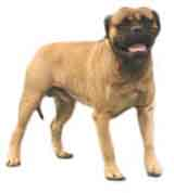 picture of a bullmastiff dog
