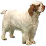 picture of a clumber spaniel