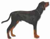 picture of a coonhound