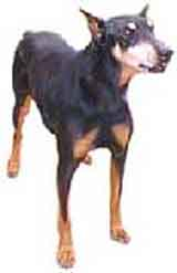 picture of a doberman