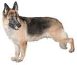 picture of a German Shephard