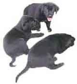 picture of black labrador retriever pups