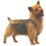 photo of a Norwich Terrier