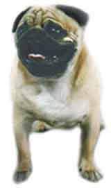photo of a Pug Terrier