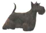 photo of a Scottish Terrier