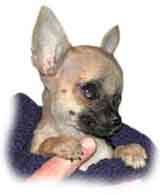 photo of a small dog breed