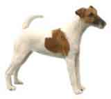photo of a Smooth Fox Terrier
