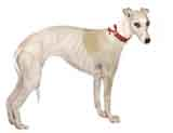 photo of a whippet